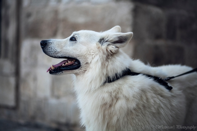 Is this a white German Sheppard?